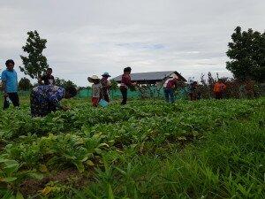 កសិករបានជួយគ្នាទៅវិញទៅមកក្នុងរដូវកាលប្រមូលផល - The farmers help each other during the harvest