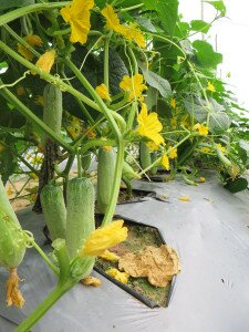 Cucumber using biocontrol products.