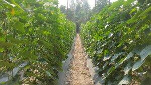 Ms. Ing Sarun's cucumber plot
